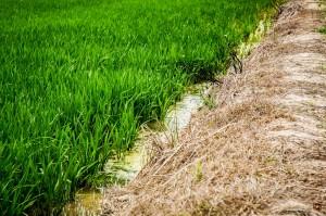 Gobernador celebra primera cosecha arroz en Valle de Lajas
