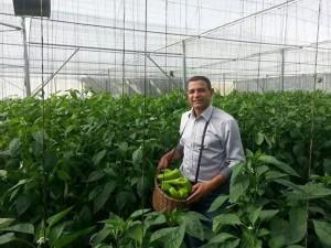 Exitosa primera cosecha en invernadero de Hormigueros