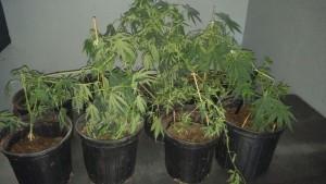 Confiscan plantas de marihuana en La Bajura de Cabo Rojo