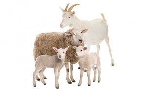 Policía investiga hurto de cabros y ovejas en Yauco