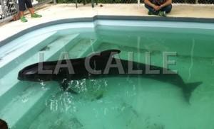 Ballena piloto hallada en playa frente al Estadio Isidoro García de Mayagüez se recupera en el Zoológico