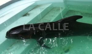 Muere ballena piloto rescatada en Mayagüez