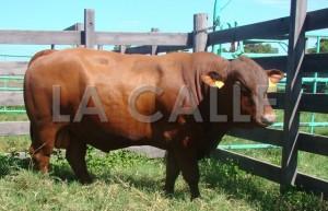 """Colegio de Mayagüez sigue exportando selecto ganado """"Senepol"""""""