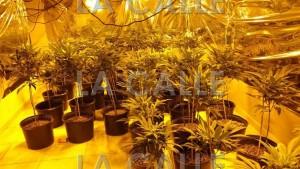 Confiscan 274 matas de marihuana en dos residencias de Aguada