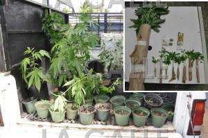 Confiscan 85 matas de marihuana en Isabela