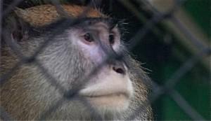 "Vigilantes de Recursos Naturales capturan al mono ""prófugo"" de Guánica"