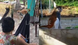 """Monos """"patas"""" llegan a Guánica. Haga """"click"""" sobre la imagen para ampliarla (Fotos Facebook)."""