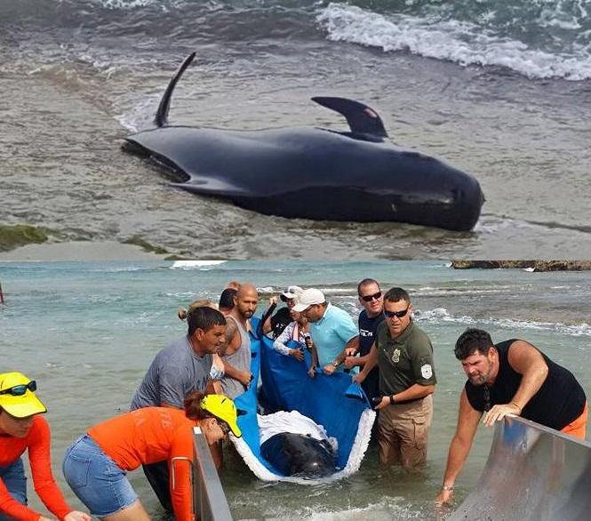 """Ballena """"piloto"""" varada en Isabela y su posterior rescate (Foto Policía de Puerto Rico y Facebook)."""