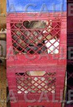 Los hacinan en cajas para litros de leche… Denuncian supuesto abuso contra animales en Mayagüez