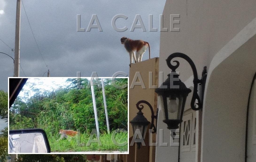 """En el recuadro, una foto de un mono """"Patas"""" tomada recientemente por Haydee Pérez Lugo y publicada en Facebook. En la foto principal, un mono sobre el techo de una residencia en la urbanización Estancias del Río, tomada en julio de 2012."""
