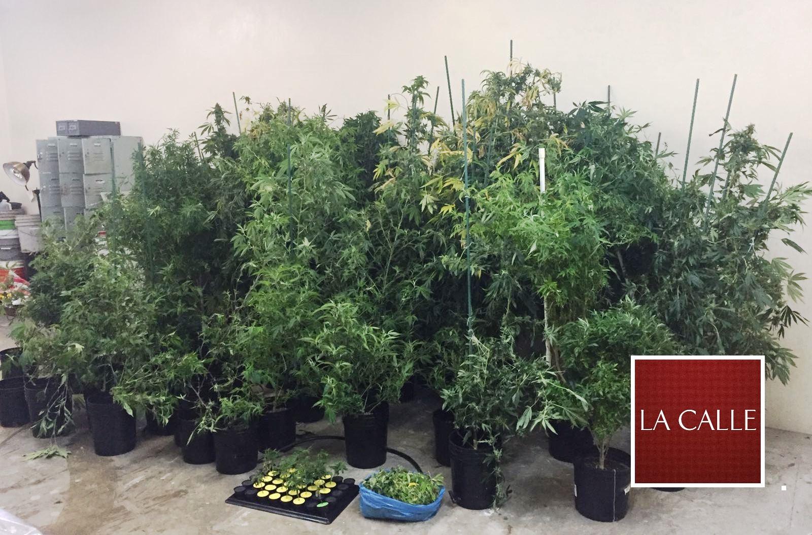 Plantas de marihuana confiscadas en el sector La Chorra de Mayagüez (Suministrada Policía).