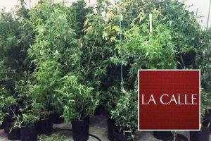 Arrestan pareja y confiscan 115 matas de marihuana, un arma y balas en Aguada