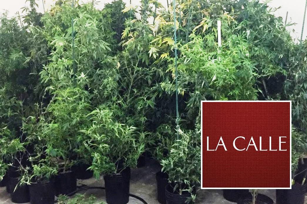 Las autoridades ocuparon 115 matas de marihuana (Archivo).