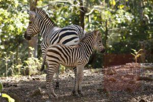 """Saludable """"Valentina""""… La primera cebra que nace en el Zoológico de Mayagüez"""
