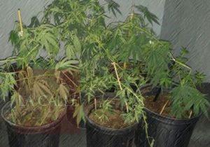 """Ocupan 6 """"matitas"""" de marihuana durante allanamiento en Añasco"""