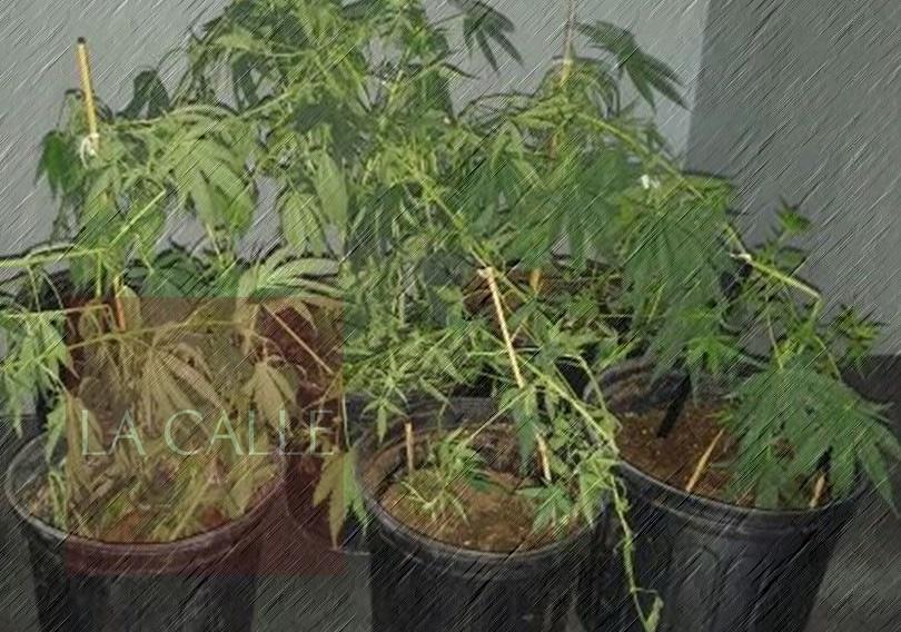 plantas de marihuana generico 1 wm