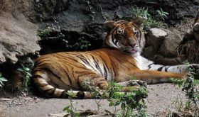 Uno de los tigres del Zoológico de Mayagüez (Fuente Internet/Panoramio)