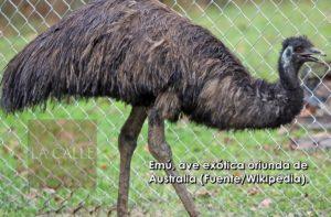 """Se roban ave exotica """"Emú"""" durante escalamiento en Ponce"""