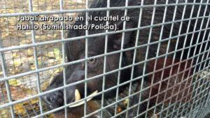 Atrapan jabalí esta mañana en el cuartel de la Policía de Hatillo (Fotos)