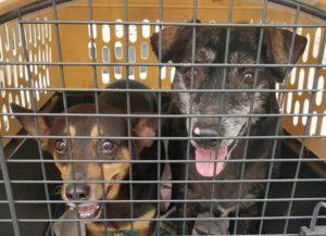 Santuario de Animales logra evacuar 36 perros y gatos hacia Estados Unidos en colaboración con The Humane Society (Fotos)