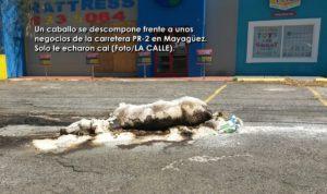 ¿Es justo esto? Riegan cal sobre animales muertos en carreteras de Mayagüez (Fotos)
