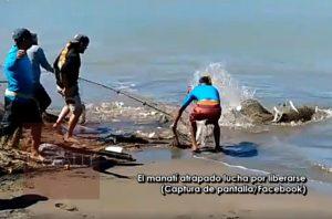 En un área conocida por la presencia de estos mamíferos marinos en peligro de extinción… Manatí cae en redes de pescadores en costa de Mayagüez