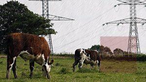 Siguen electrocutándose las vacas en la región Norte… Mueren 4 reses esta mañana en Arecibo